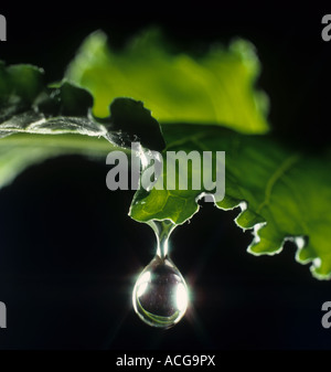 Water droplet rolling off a sugar beet leaf.  The drop is at the point of falling - Stock Photo