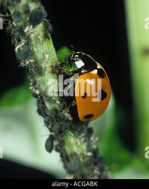 Seven spot ladybird Coccinella septumpunctata - Stock Photo