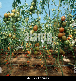 Tomato fruit on vines stripped of lower leaves at the end of the season in a polythene tunnel - Stock Photo
