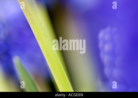 Muscari armeniacum. Grape Hyacinth stem abstract - Stock Photo