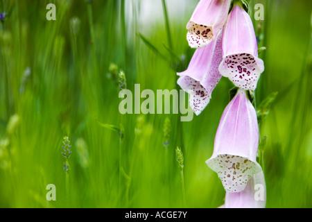 Digitalis purpurea. Foxglove through young lavender plants in an English country garden - Stock Photo