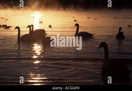 Mute swans and seagulls in frost and mist at Jeløy, Moss kommune, Østfold fylke, Norway. - Stock Photo