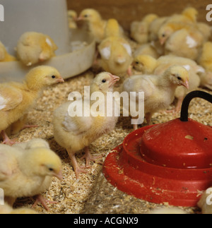 Seven day old broiler chicks in poultry house for rearing fattening - Stock Photo