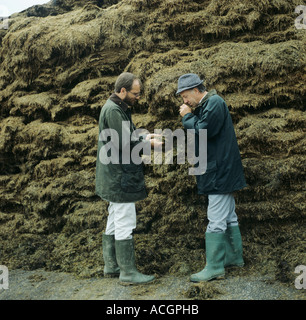 Farmer consultant examining sample from an open cut face of a silage clamp - Stock Photo