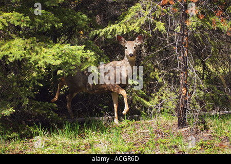Deer in the trees - Stock Photo