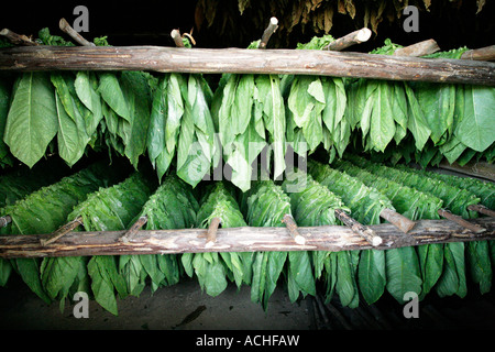 Stock Photo of Tobacco Leaves, Drying on a Rack. - Stock Photo