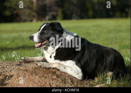 Purebred border collie dog Model Released Image - Stock Photo