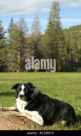 Purebred border collie dog - Stock Photo