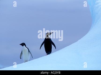 Antarctica Adelie Penguins Pygoscelis adeliae stand atop iceberg in Crystal Sound along Antarctic Peninsula - Stock Photo
