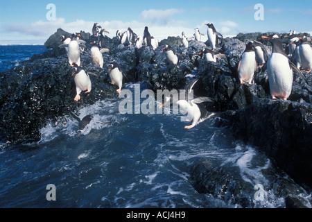 Antarctica Livingston Island Hannah Point Gentoo penguins Pygoscelis papua gather at rock ledge along ocean shore - Stock Photo