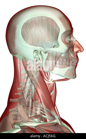 The musculoskeleton of the head neck and face - Stock Photo