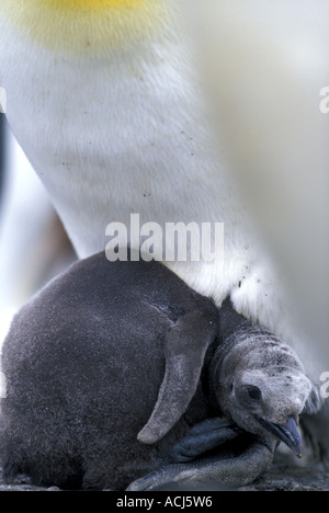 South Georgia Island King Penguin chick Aptenodytes patagonicus nestles under mother in rookery by Bay of Isles - Stock Photo