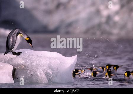 South Georgia Island Lone King Penguin Aptenodytes patagonicus atop iceberg from Cook Glacier at Saint Andrews Bay - Stock Photo