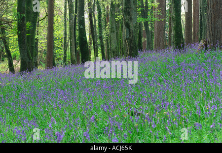 Spring bluebells carpet a beech woodland in Killarney National Park. County Kerry, Ireland. - Stock Photo