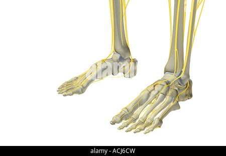 The nerves of the feet Stock Photo: 13207388 - Alamy