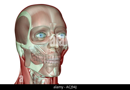 The musculoskeleton of the head and neck - Stock Photo