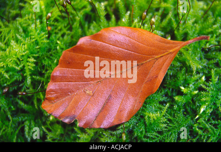 Autumn beech leaf on green moss, Northern Ireland, UK. - Stock Photo