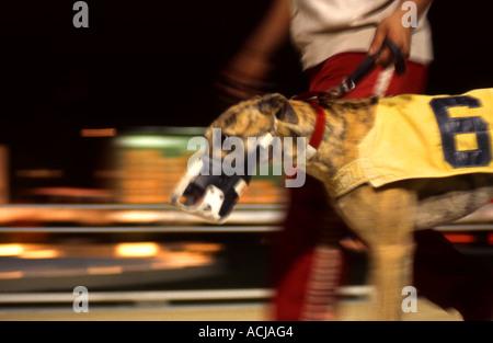 Greyhound Racing Dog - Stock Photo