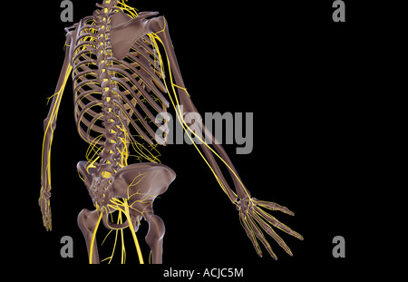 The nerves of the trunk - Stock Photo