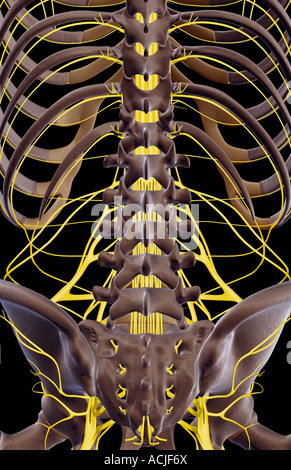 The nerves of the lower back - Stock Photo