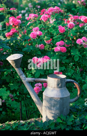 Iron watering can in garden pink roses in background - Stock Photo