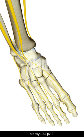 The nerves of the foot Stock Photo: 13174263 - Alamy