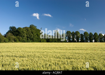 English Corn field in summer - Stock Photo