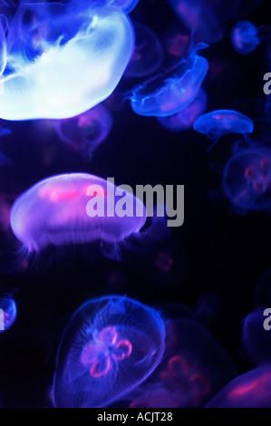 Moon jellyfish at Shedd Aquarium in Chicago IL. © Craig M. Eisenberg - Stock Photo