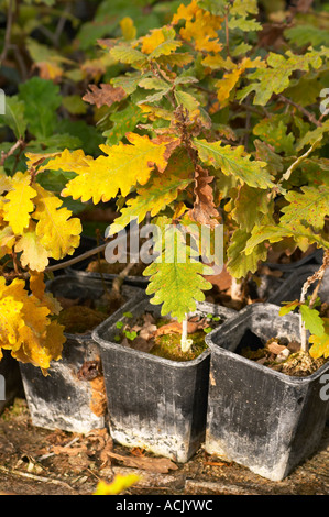 Young plants in the nursery that have been seeded with truffles spores and that will be planted and produce truffles. - Stock Photo