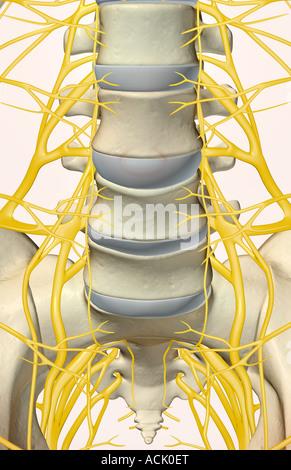 The lumbar and sacral plexus - Stock Photo