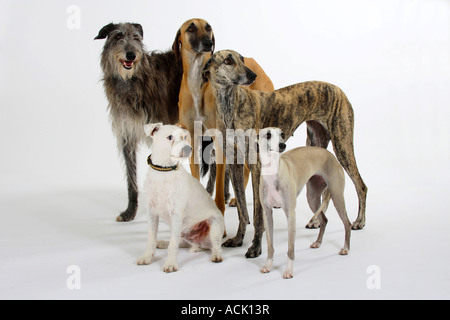 Sloughis Scottish Deerhound Whippet and Parson Russell Terrier - Stock Photo