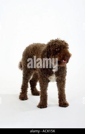 Perro de Agua Espanol Spanish Water Dog - Stock Photo