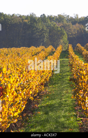 Autumn colours in the vineyard in late afternoon evening sunshine, red, brown, yellow leaves Domaine Vignoble des - Stock Photo