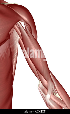 The muscles of the shoulder and upper arm Stock Photo: 14033027 - Alamy