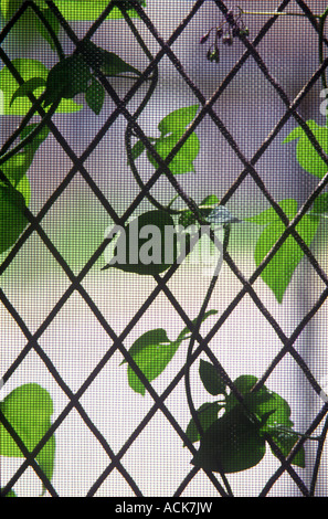 Vine On Screen And Grate Window During Summer - Stock Photo