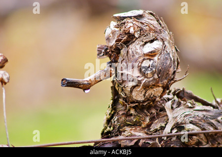 detail of a vine after winter pruning, in spring when temperatures rise, the sap seeps out from the pruning cuts. - Stock Photo