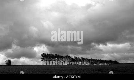 A row of trees form a windbreak for a field of crops in England monotone monochrome - Stock Photo