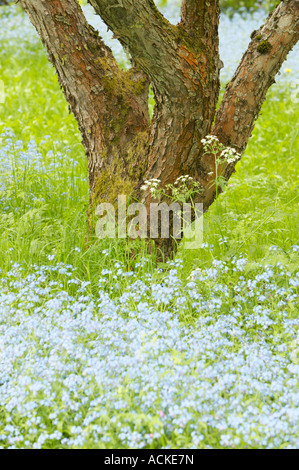Apple tree trunk and forget me nots - Stock Photo