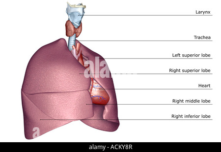The respiratory system - Stock Photo
