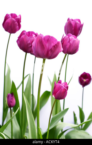 Side view of purple tulips against a white background - Stock Photo