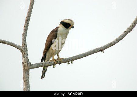 LAUGHING FALCON Herpetotheres cachinnans - Stock Photo