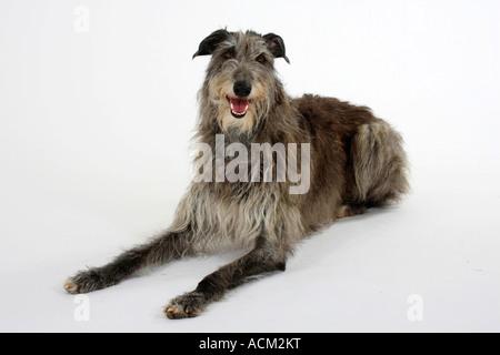 Scottish Deerhound - Stock Photo