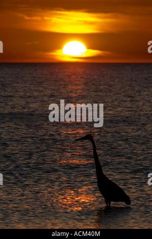 Great Blue Heron fishing at Sunset on florida beach - Stock Photo