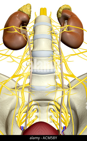 Nerve supply of the urinary system - Stock Photo