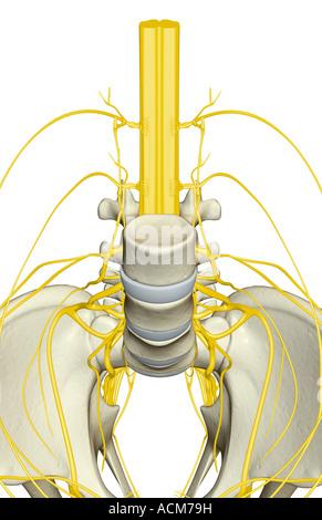 Nerve supply of the pelvis - Stock Photo
