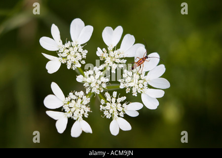 small red and black beetle on White Lace Flower (Orlaya grandiflora) - Stock Photo