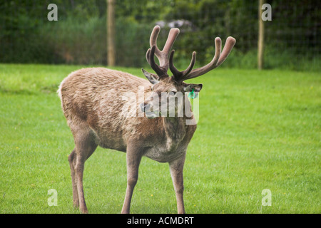 A stag at Bunratty Folk Park Co Clare Ireland - Stock Photo