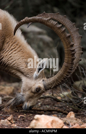 Goat with strong horns - Stock Photo