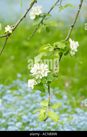 Apple blossom and forget me nots - Stock Photo