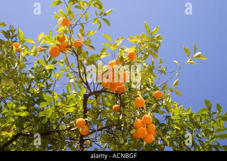 Orange tree, Seville, Spain - Stock Photo